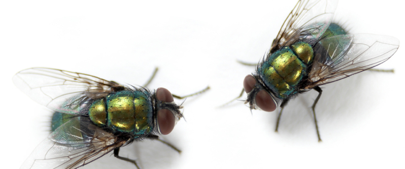 the description of the house fly and its habitat Description: adult: the house fly is 5 to 7 mm long,  habitat: the flies are  since the house fly can complete its life cycle in as little as seven days,.