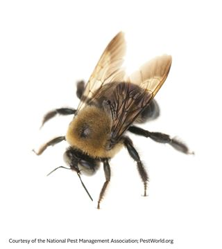 Carpenter Bees - Bee Facts for Kids