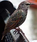 Starling Facts for Kids