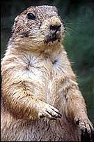 Gopher Facts for Kids: Gopher ...