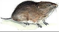 Vole Facts & Information for Kids