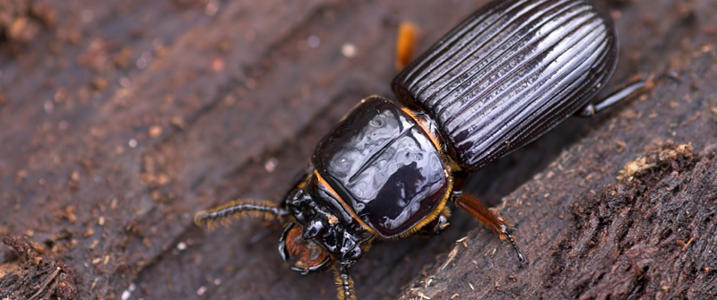 Beetles - Facts About beetles - Types of beetles ...