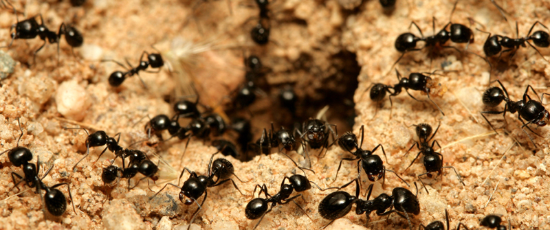 Ants Facts About Ants Types of Ants PestWorldforKidsorg