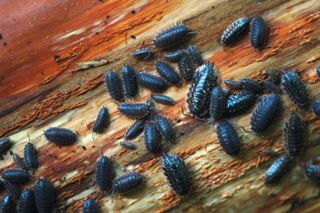 Is Your Home A Pill Bug Habitat? - Bug Science Projects for Kids