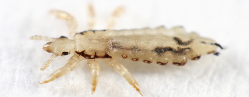 Lice Facts For Kids Lice Pest Information For Students