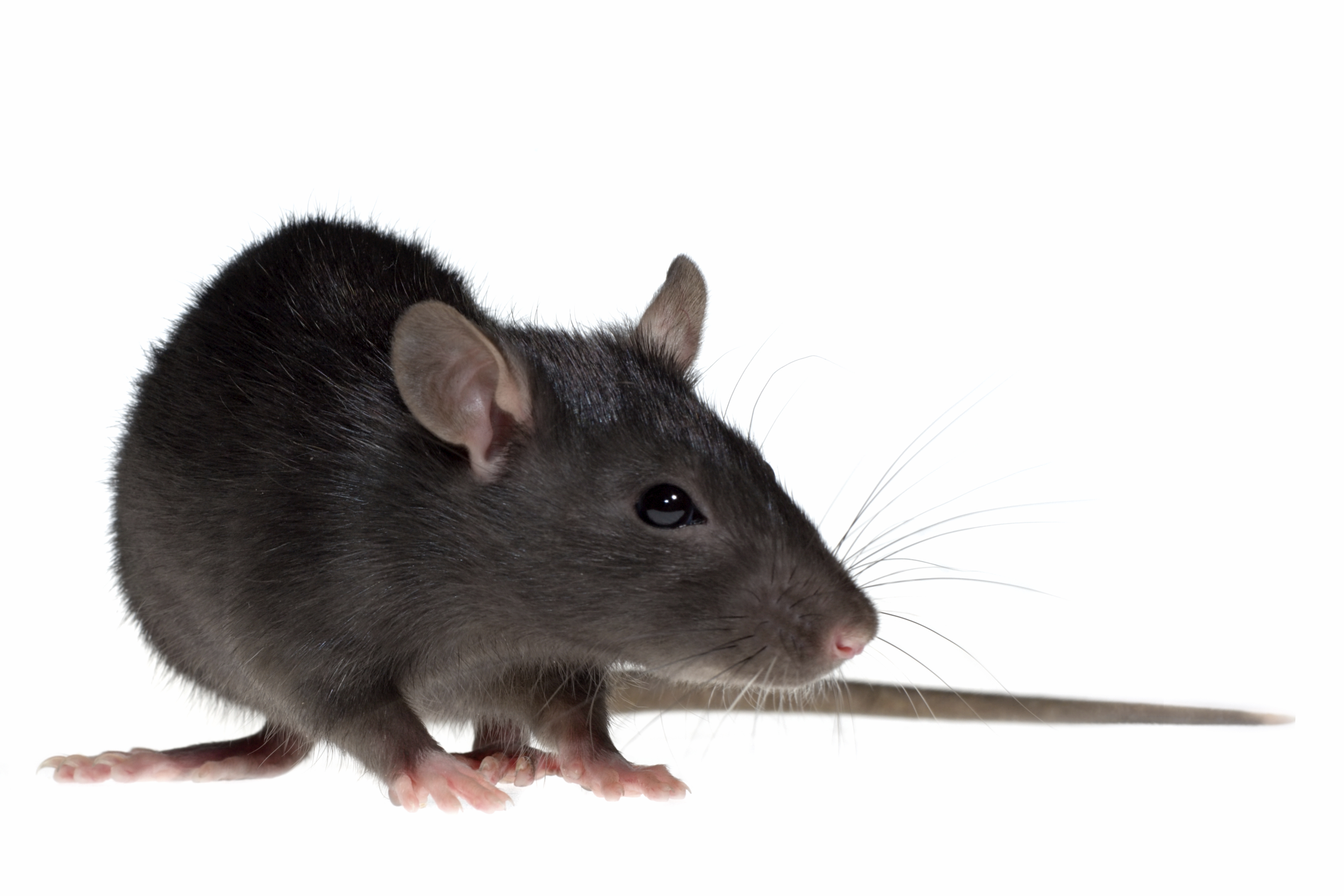 Rat Information For Kids Fun Rodent Facts For Students