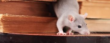 Information about Rats - Rodent Facts for Kids