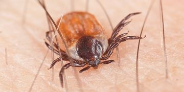 How Long Can Ticks Live Without Food Pestworld For Kids