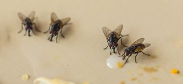 Houseflies Feeding.jpg