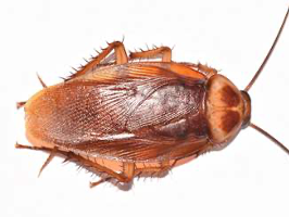 An American cockroach is about the size of a cucumber slice - How Big Can a Cockroach Get?