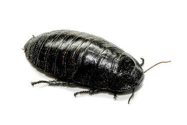 A giant burrowing cockroach is about the size of an avocado - How Big Can a Cockroach Get?