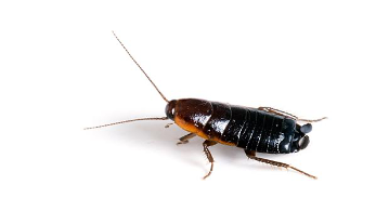 An Oriental cockroach is about the size of a Cheez-It - How Big Can a Cockroach Get?