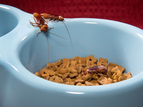 Cockroaches Eating Pet Food - What Do Cockroaches Eat in the Wild?