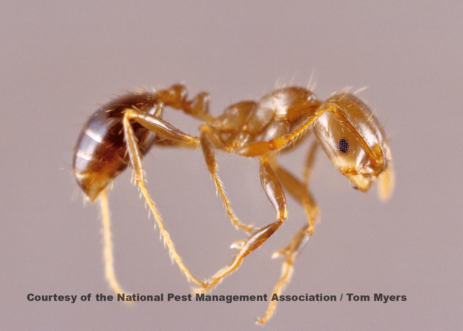 Red Imported Fire Ants. Ants   Facts About Ants   Types of Ants   PestWorldforKids org