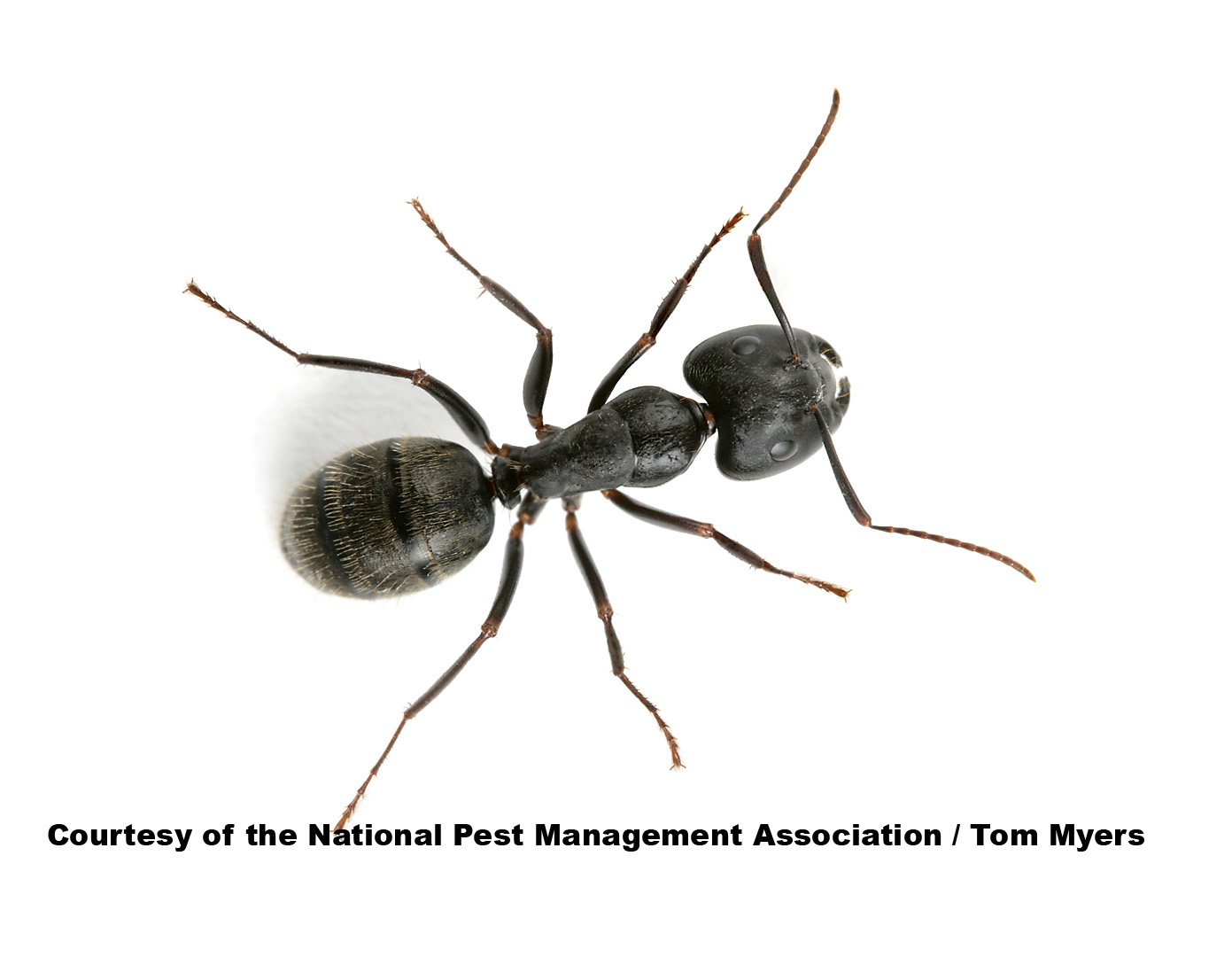 Carpenter Ants. Ants   Facts About Ants   Types of Ants   PestWorldforKids org