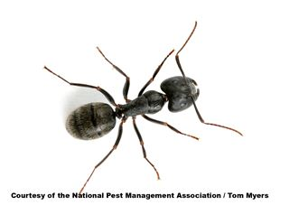 Carpenter Ant Information - Fun Ant Facts from PestWorld for Kids