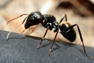 Pavement Ant Information - Fun Ant Facts from PestWorld for Kids