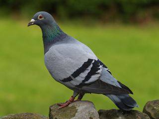 Information about Pigeons for Kids