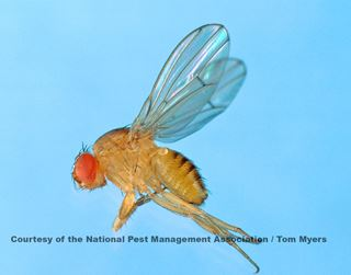 Fruit Fly Facts for Kids