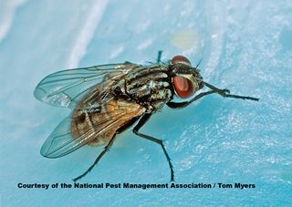 House Fly Facts for Kids