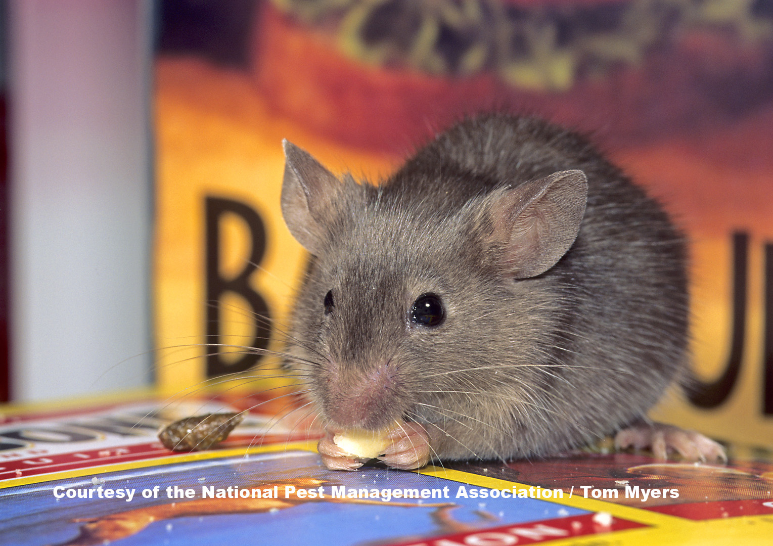 Mice Information For Kids House Mouse Facts For Kids