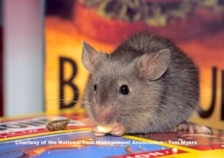 House Mice - Mouse Facts for Kids