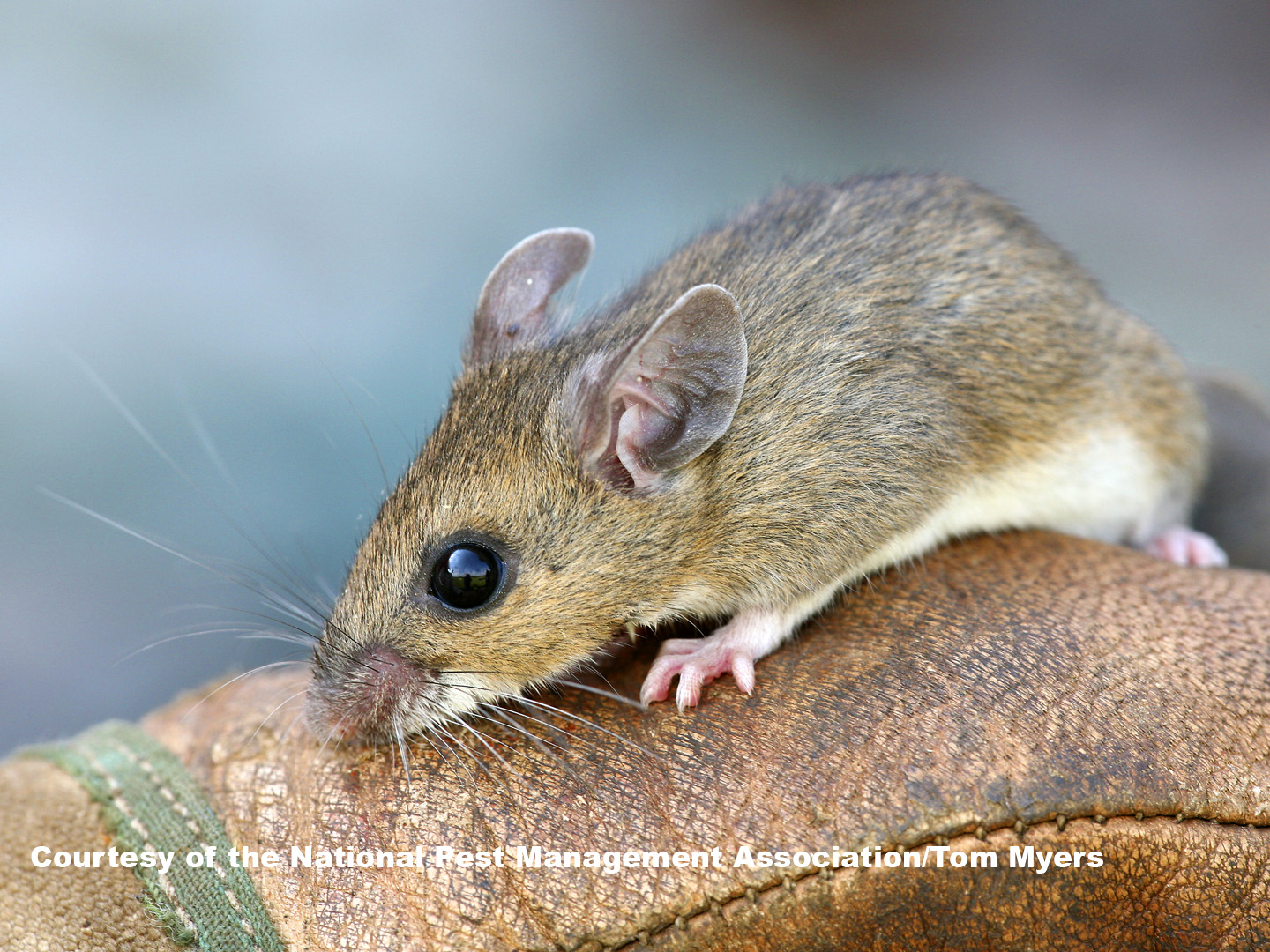 Mice Information for Kids: House Mouse Facts for Kids