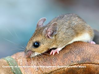 Deer Mice - Mouse Facts for Kids