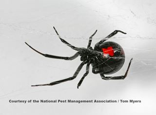 Black Widow Spiders: Arachnid Facts for Kids