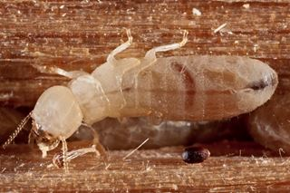 Drywood Termites - Termite Facts for Kids