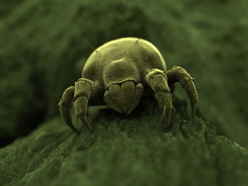 Dust Mite Information For Kids Dust Mite Facts For Kids