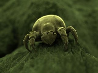 Small Green Dust Mite