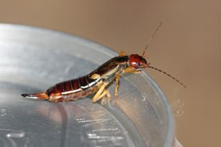Earwig Facts & Information for Kids