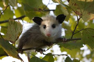 Opossum Native To Opossum Facts f...