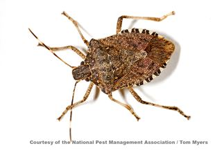 Stink Bug Facts & Information from PestWorld for Kids